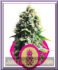 Royal Queen - Pineapple Kush - Feminized 10 seeds